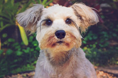 Close up Schnauzer, vintage color effect Royalty Free Stock Photo