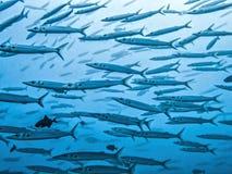 Close up school of big eyed barracuda in blue ocean image stock photo