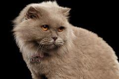 Close-up Schotse Cat Curiosity Looking op Zwarte royalty-vrije stock afbeelding