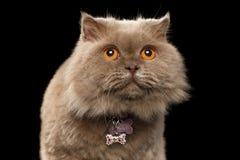 Close-up Schotse Cat Curiosity Looking op Zwarte royalty-vrije stock foto's