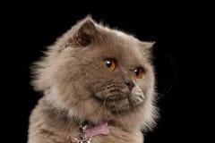 Close-up Schotse Cat Looking bij Recht op Zwarte stock afbeeldingen