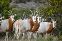 Scimitar Oryx Herd. Close up of scimitar oryx herd Stock Photography