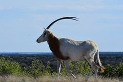 Scimitar Oryx in the Wild. Close up of a scimitar oryx in the wild on top of a mountain Royalty Free Stock Image
