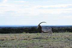 Scimitar Oryx in the Wild. Close up of a scimitar oryx in the wild on top of a mountain Stock Photography
