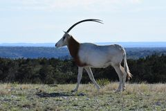 Scimitar Oryx in the Wild. Close up of a scimitar oryx in the wild on top of a mountain Stock Photos