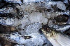 Close up of Scomberomorus cavalla,   king mackerel Fish in the market.. Close up of Scomberomorus cavalla,   king mackerel Fish in the market Royalty Free Stock Photos