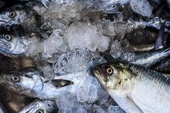Close up of Scomberomorus cavalla,   king mackerel Fish in the market. Stock Photos