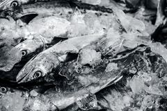 Close up of Scomberomorus cavalla,   king mackerel Fish in the market. Stock Photo