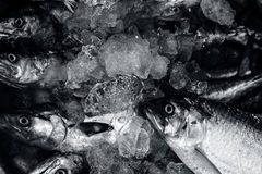 Close up of Scomberomorus cavalla,   king mackerel Fish in the market. Royalty Free Stock Images