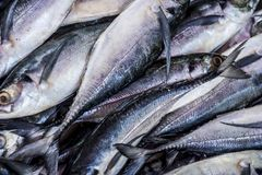 Close up of Scomberomorus cavalla,   king mackerel Fish in the market. Stock Photos