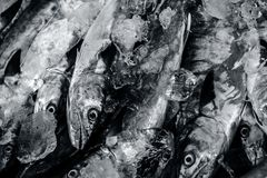Close up of Scomberomorus cavalla,   king mackerel Fish in the market. Stock Image