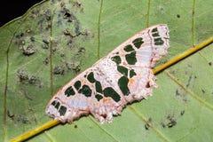 Antitrygodes divisaria moth Royalty Free Stock Images