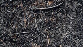 Close-up of scorched earth after the spring fire in forest. Black burnt field with fresh sprouts of new grass. Dead planting with