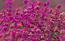Close-up of Scottish Bell Heather. Dark purple-pink Scottish Heather Stock Images