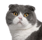 Close-up of Scottish Fold cat. 1 year old, in front of white background Royalty Free Stock Photo