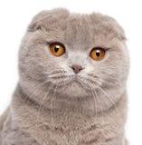 Close-up of Scottish Fold cat Royalty Free Stock Photo