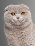 Close-up of Scottish Fold cat. 9 and a half months old, in front of grey background Stock Images