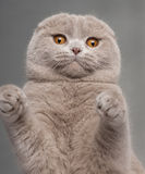 Close-up of Scottish Fold cat with paws up Royalty Free Stock Photography