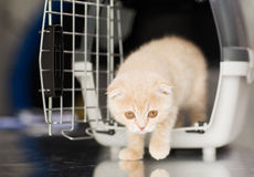 Close up of scottish fold kitten in cat carrier. Pets, animals and cats concept - close up of scottish fold kitten coming out of cat carrier box Royalty Free Stock Photo