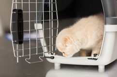 Close up of scottish fold kitten in cat carrier Royalty Free Stock Images