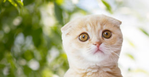 Close up of scottish fold kitten over nature. Pets, animals and cats concept - close up of scottish fold kitten over green natural background Royalty Free Stock Photo
