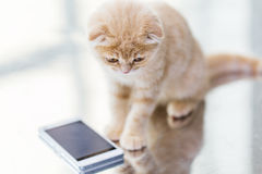 Close up of scottish fold kitten with smartphone. Pets, animals, technology and cats concept - close up of scottish fold kitten with smartphone Royalty Free Stock Photos