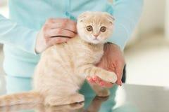 Close up of scottish fold kitten and woman. Pets, animals and cats concept - close up of scottish fold kitten and woman Royalty Free Stock Photos