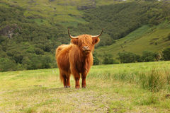 Close up of scottish highland cow in field Stock Photography