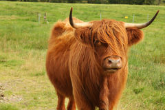 Close up of scottish highland cow in field Royalty Free Stock Photo