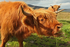 Close up of scottish highland cow in field Stock Image