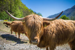 Close up of scottish highland cow in field Royalty Free Stock Photography