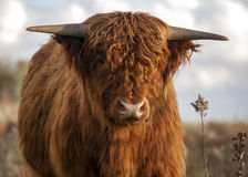 Close up of a Scottish highlander cow Royalty Free Stock Photo