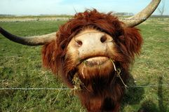 Curious Cow. A close-up of a scottish highlander cow Stock Photography