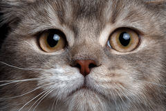Close-up scottish straight cat. With red nose Stock Photography