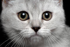 Close-up scottish straight kitty. Isolated on black Stock Photography
