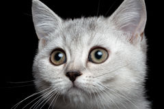 Close-up scottish straight kitty. Isolated on black Royalty Free Stock Photo