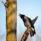 Clouse- up screaming black crow on tree. Close-up screaming black crow on tree wild photography in  nature royalty free stock photos