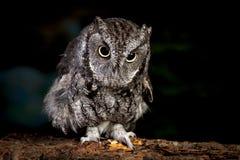 Close up of screech owl. Stock Photography