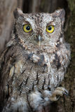Close up screech owl Stock Photo