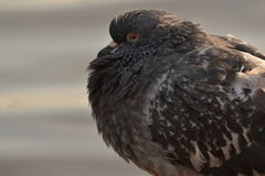 Close up scruffy fat pigeon Stock Images