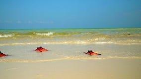 Close up se uma estrela do mar vermelha que encontra-se na praia O azul acena em um fundo A câmera remove lentamente as ondas e a video estoque