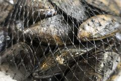 Close up of sea food Mussels in packaging net royalty free stock image