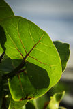 Close up of Sea Grape Royalty Free Stock Photography