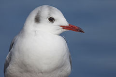 Close-up of a sea gull Royalty Free Stock Photography