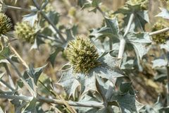 Close-up of Sea Holly, Eryngium maritimum. Growing on the dunes. It is a species in the Apiaceae family native to most European coastlines. Photo taken in Stock Images