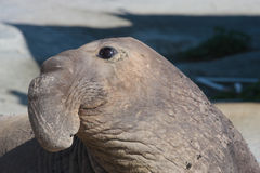 Close up sea lion. Extreme close up of adult Male sea Lion in the wild, Baja, Mexico Royalty Free Stock Image