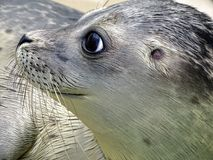 Close-up of Sea Lion at Beach Stock Photo