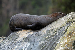 Close-up of a Sea lion at Milford Sound Royalty Free Stock Photography