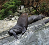 Close-up of a Sea lion at Milford Sound. New Zealand Royalty Free Stock Photos