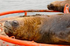 Close up of a sea lion. Close up of a sleeping sea lion on a red buoy in the water of Valparaiso in Chile Royalty Free Stock Images